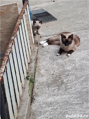 Vand pui pisica siameza - imagine 2