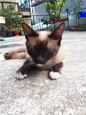 Vand pui pisica siameza - imagine 1