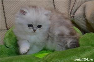 persana chinchilla - imagine 3