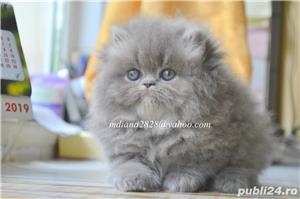 Pui pisica persana Albastru Superb ! - imagine 1