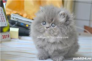 Pui pisica persana Albastru Superb ! - imagine 5