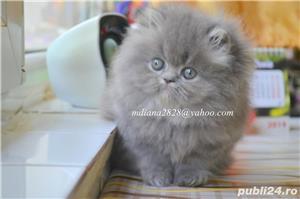 Pui pisica persana Albastru Superb ! - imagine 4