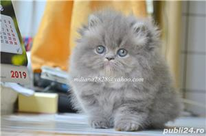 Pui pisica persana Albastru Superb ! - imagine 3