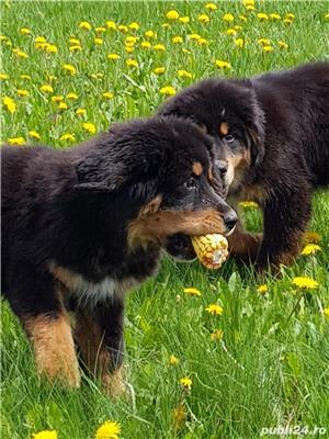Pui mastiff tibetan de 5 luni de vanzare! - imagine 3