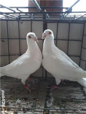 porumbei voiajori  cu origini bune - imagine 19