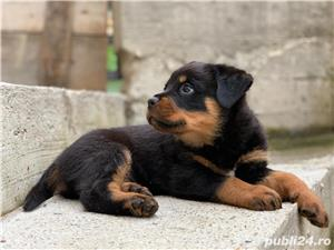 Pui rottweiler - imagine 5