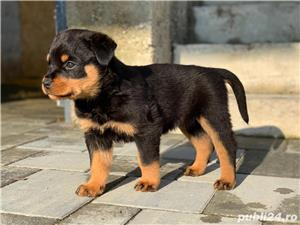 Pui rottweiler - imagine 8
