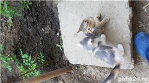 Pisicute de rasa de vanzare - imagine 8
