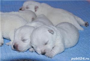 Pui westie cu pedigreeA - imagine 2