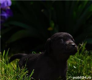 Labrador Retriever negrii și galbeni  - imagine 5