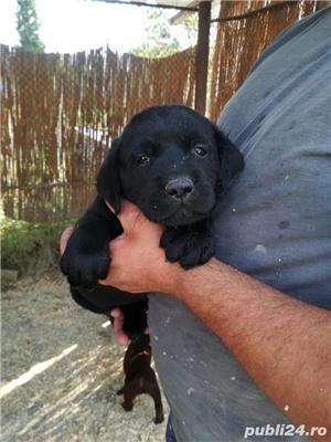 Labrador de vanzare - imagine 2
