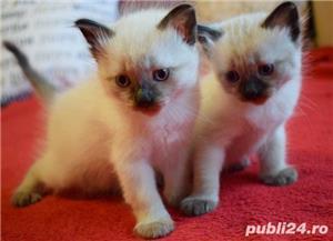 Vand puiuti pisica, Birmanezi,  (un mascul disponibil)  - imagine 1