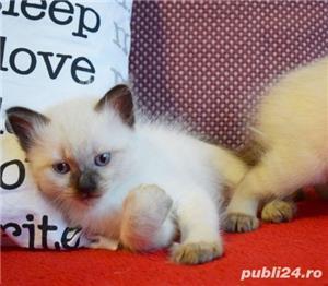 Vand puiuti pisica, Birmanezi,  (un mascul disponibil)  - imagine 2
