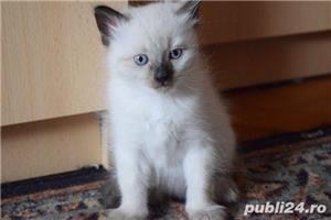 Vand puiuti pisica, Birmanezi,  (un mascul disponibil)  - imagine 4
