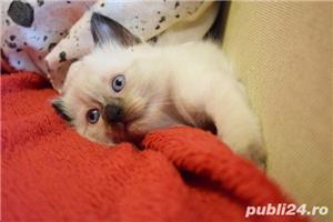 Vand puiuti pisica, Birmanezi,  (un mascul disponibil)  - imagine 3