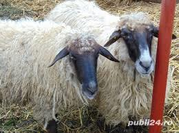 Vând oi de rasa grase și ieftine - imagine 1