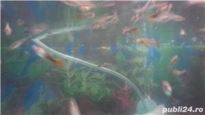 Pești acvariu  - imagine 2