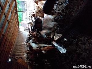 Vând capre cu lapte  - imagine 1