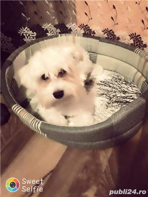 Bichon - imagine 1