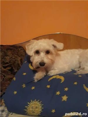 Bichon - imagine 2