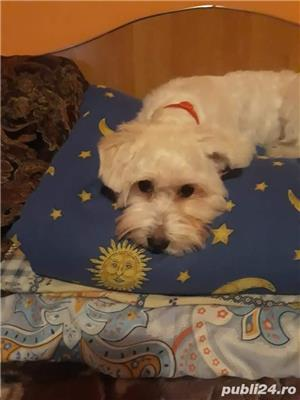 Bichon - imagine 3