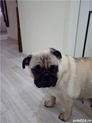 Pug(Mops) - imagine 4