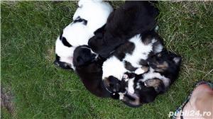 6 catelusi pentru adopție  - imagine 9