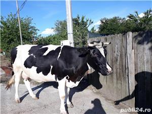 Vaca gestanta de vanzare. - imagine 3