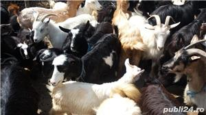 Vand capre si iezi - imagine 3