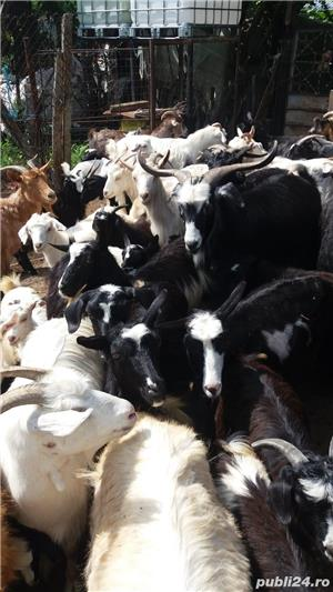 Vand capre si iezi - imagine 2