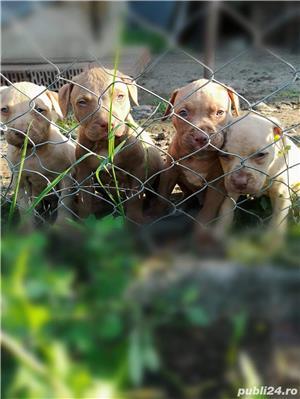 Căței.. Apbt.. cu pedigree - imagine 1