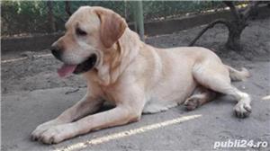Labrador Pedigree  - imagine 2