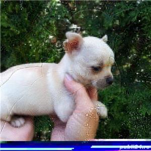 Vand puiuti chihuahua bucuresti Iasi constanta brasov galati Craiova Oradea  - imagine 4