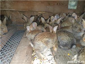 Vand iepuri - imagine 3