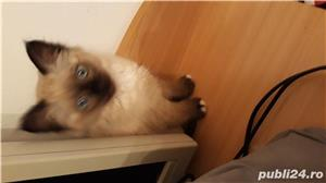 pisicuta birmaneza rasa pura - imagine 1
