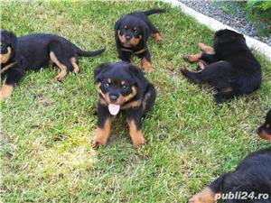 Pui rottweiler - imagine 3