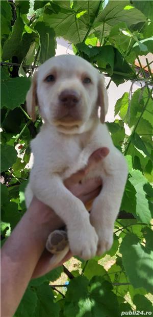 Pui Labrador - imagine 11