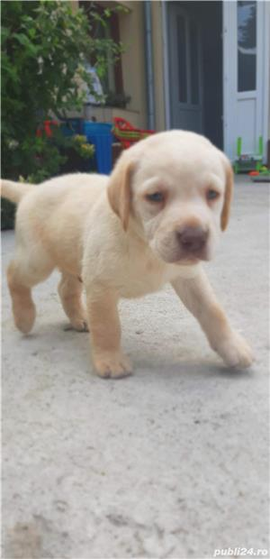 Pui Labrador - imagine 2