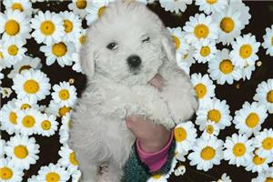 Bichon frise  - imagine 2