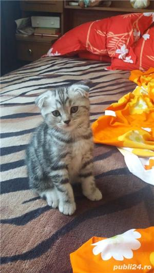 Scottish Fold oferta - imagine 5