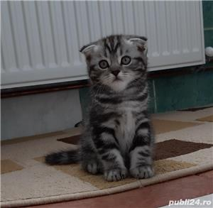 Scottish Fold oferta - imagine 3