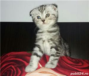 Scottish Fold oferta - imagine 2