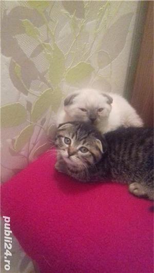 Pui pisică Brithish Shorthair  - imagine 2