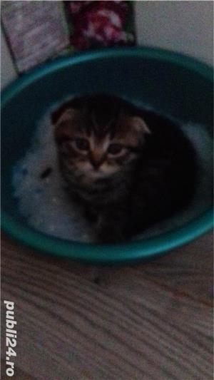 Pui pisică Brithish Shorthair  - imagine 1