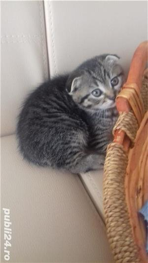 Pui pisică Brithish Shorthair  - imagine 3