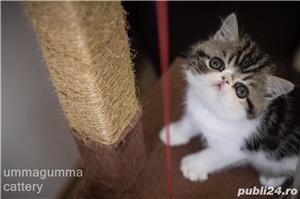 Puiuti Exotic Shorthair Cu Pedigree - imagine 2