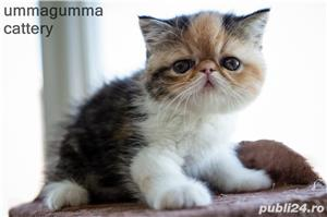 Puiuti Exotic Shorthair Cu Pedigree - imagine 4