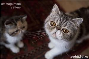Puiuti Exotic Shorthair Cu Pedigree - imagine 10
