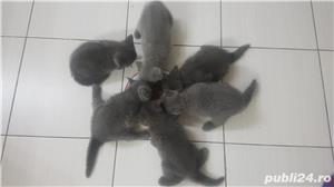 British shorthair supersimpatici, superiubibili - imagine 5