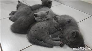 British shorthair supersimpatici, superiubibili - imagine 2